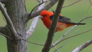 Scarlet Tanager Spark Bird