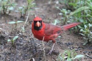 best bird feeders for cardinals