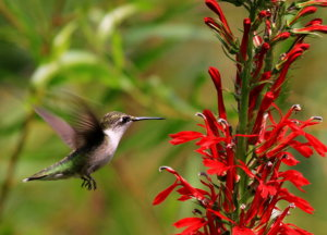 best native plants to attract hummingbirds