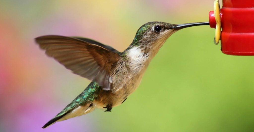 hummingbird nectar recipe and hummingbird food
