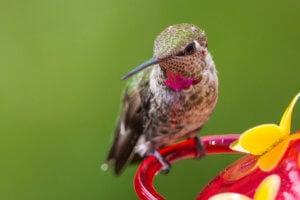 Hummingbird Nectar Recipe and Food Guide