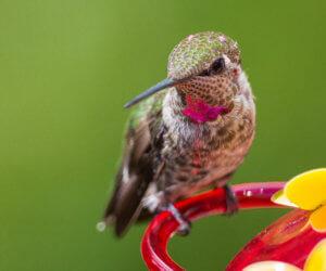 The 2019 Hummingbird Food Guide (Easy Nectar Recipe + FAQ)
