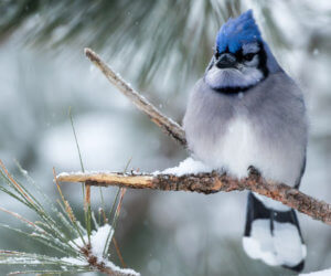 15 FUN & INTERESTING Facts about Blue Jays! [2019]