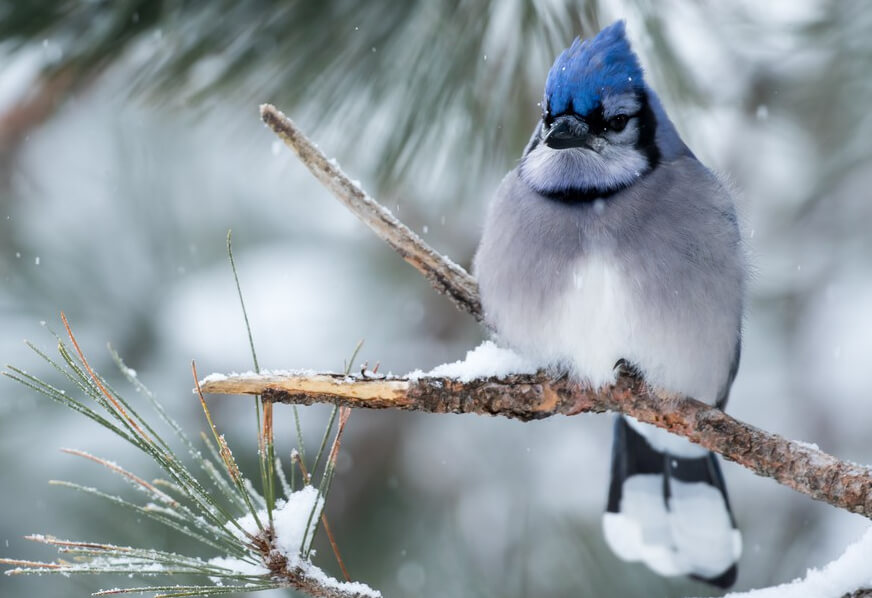 Attract Blue Jays With These 4 SIMPLE Strategies (2020 ...