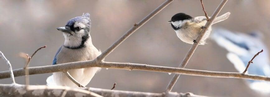 attracting blue jays to bird feeders