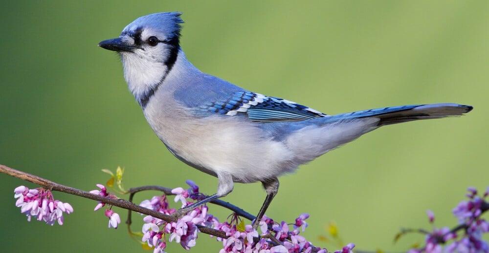 Blue Jay Bird Watching Hq
