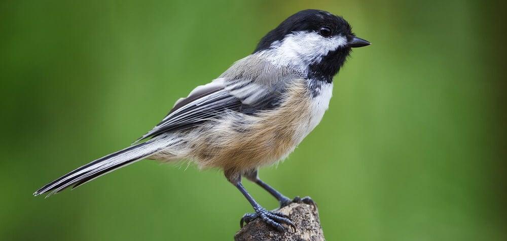 common birds - black capped chickadee