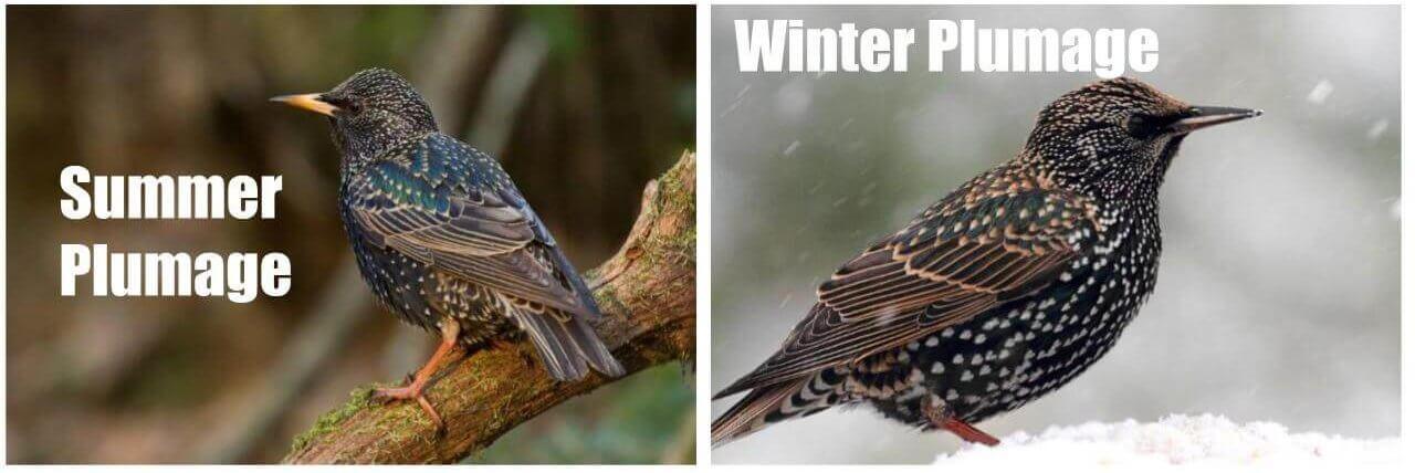 european starlings common birds