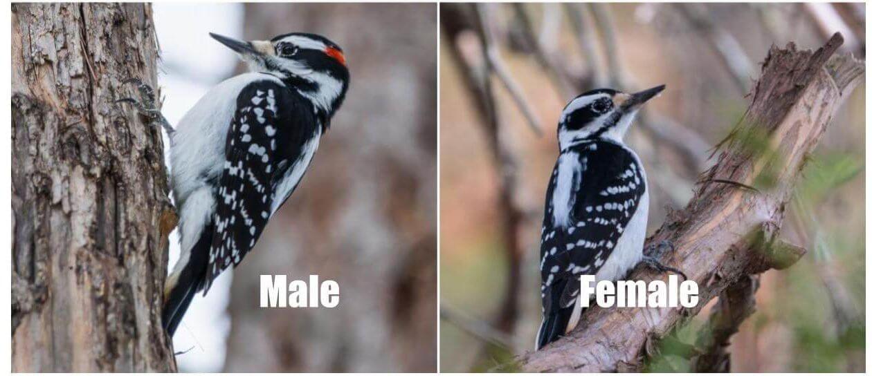 common types of woodpecker birds