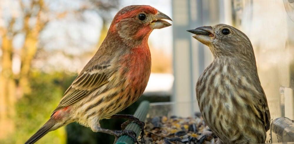 common birds - house finch