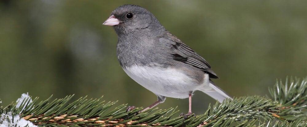 junco - common types of winter birds