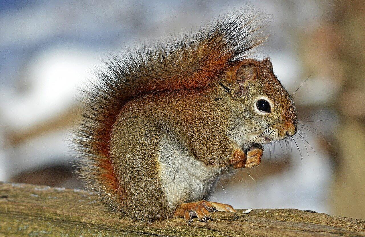 Common squirrels - American Red Squirrel