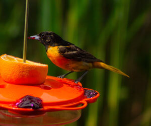 The 8 BEST Feeders For Orioles (That Actually Work!)