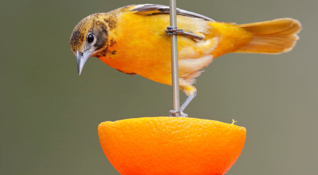 attracting orioles with fruit and oranges