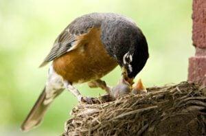 cardinal robin nest shelf plans