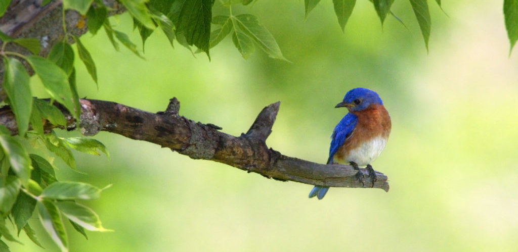 bluebirds nesting and living in your backyard