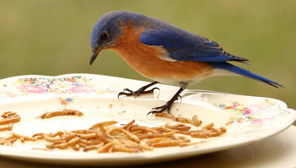 how to attract bluebirds using mealworms