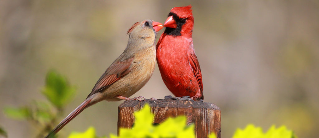 Loved Cardinal Feed Each Other in the Summer