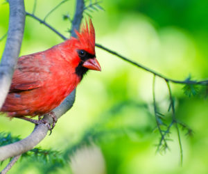 20 FUN & INTERESTING Facts About Cardinals (2019)