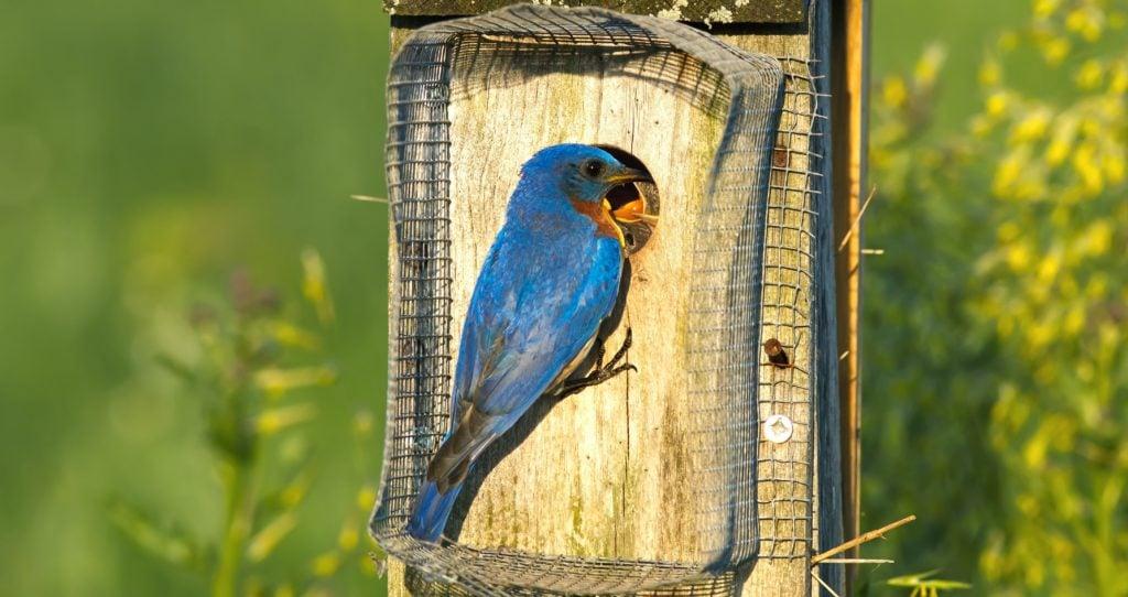Eastern Bluebird birdhouse with noel predator guard