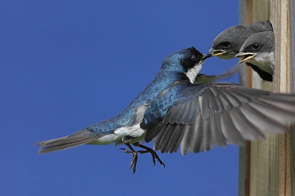 Tree Swallow Feeding Babies