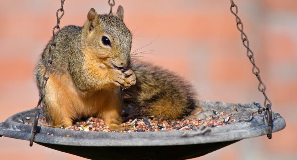 Young Fox Squirrel on bird feeder