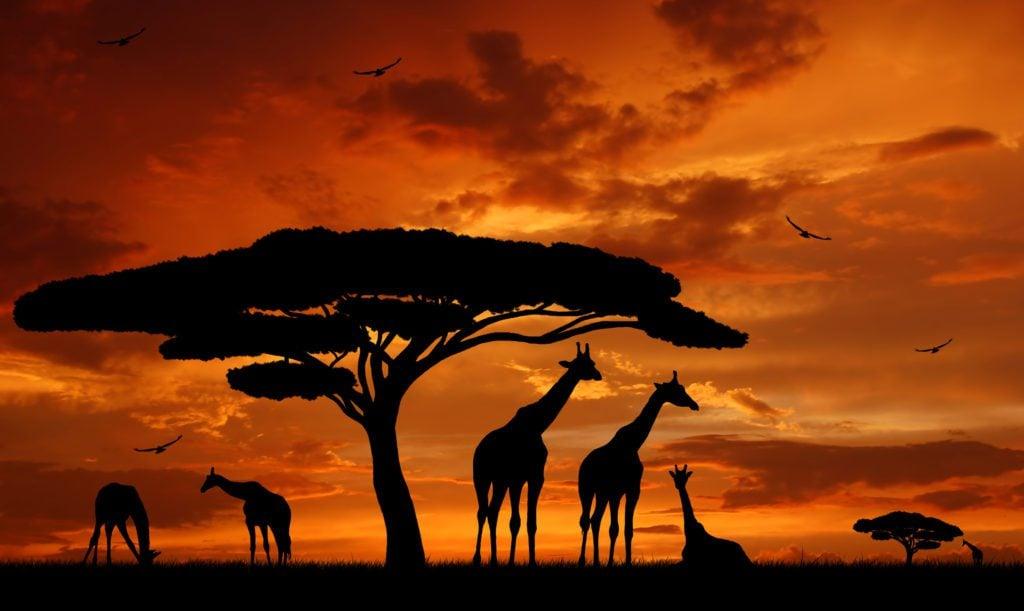 African savannah giraffes