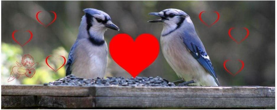 fun facts about blue jays - monogomous