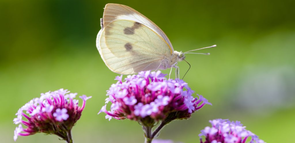 plants that attract butterflies and moths