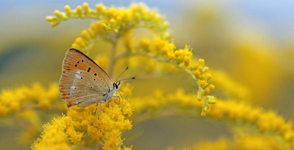goldenrod for butterflies