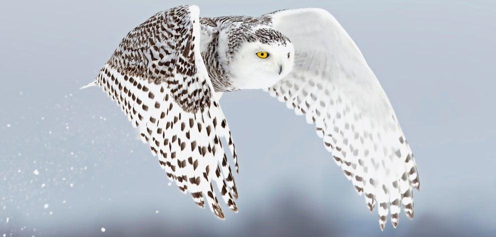 snowy owl irruptions