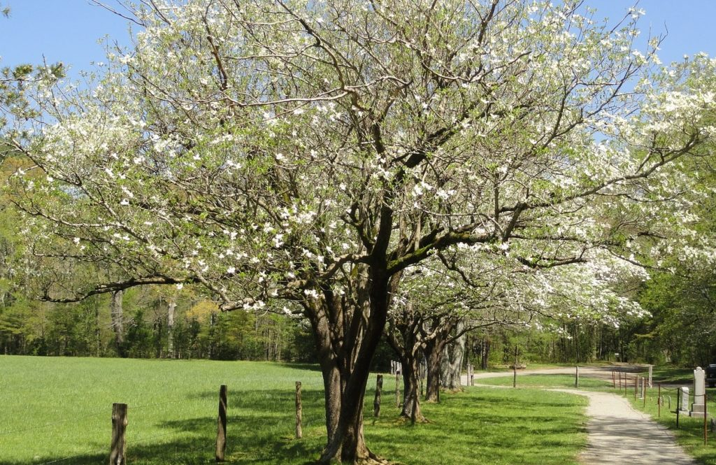 flowering dogwood as butterfly host plant and caterpillars