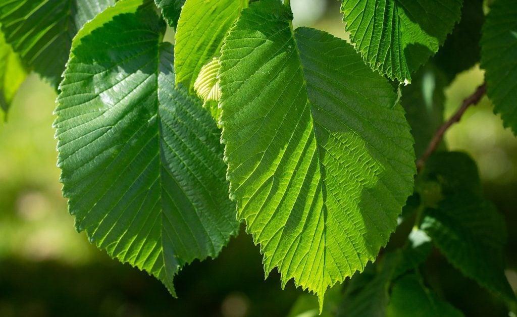 elm tree for caterpillars and butterflies