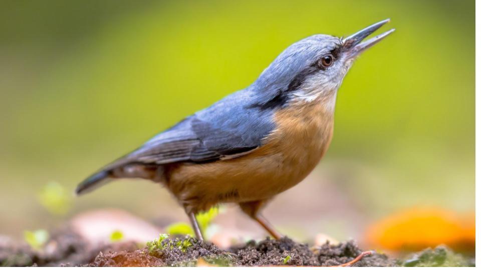 backyard feeder birds in Europe, Germany