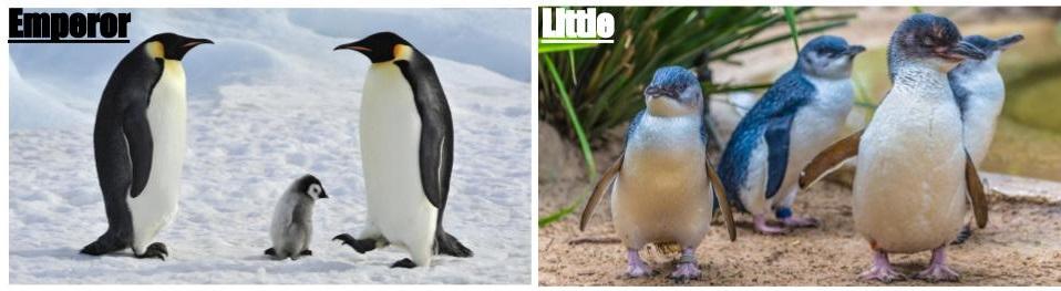 emperor vs littel blue penguin