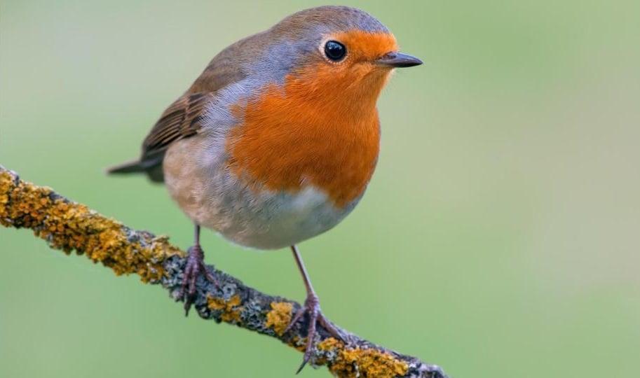 best bird in UK and Great Britian, England