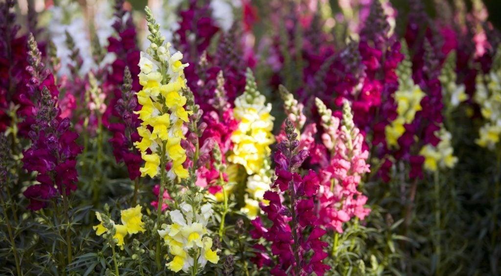 best flowers for larval butterflies