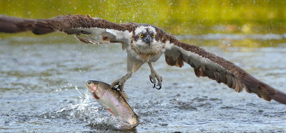 osprey catching fish