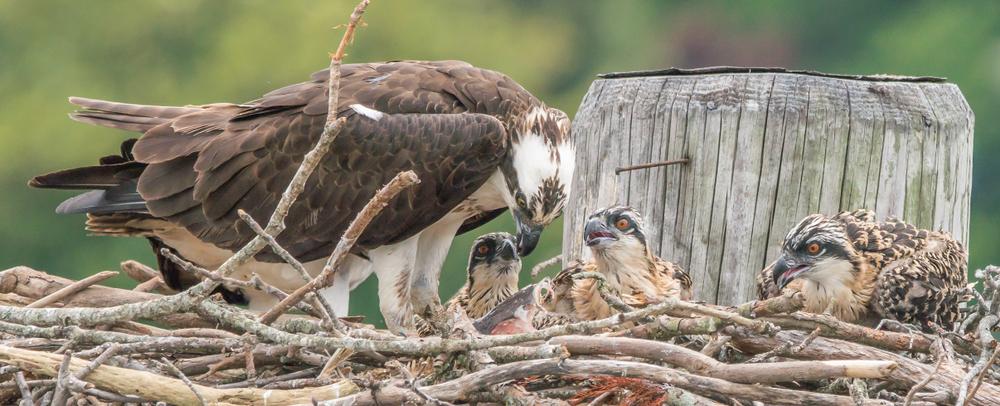 baby osprey chicks