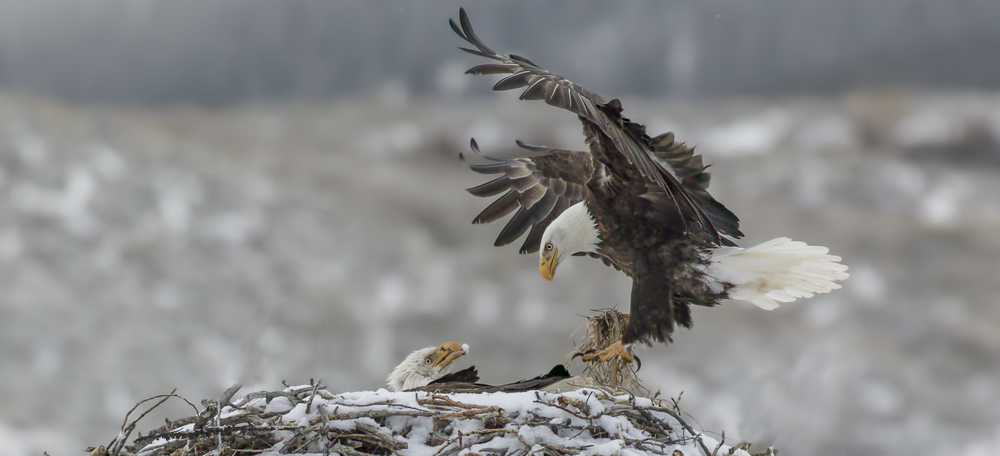 live eagle cams