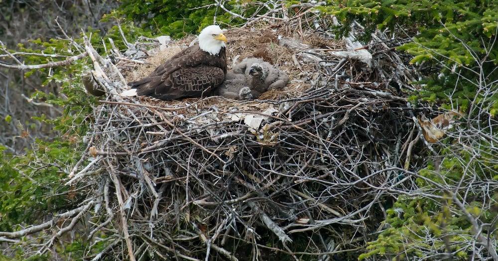 live bald eagle cam