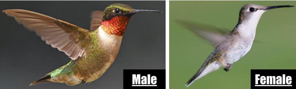 species of hummingbird