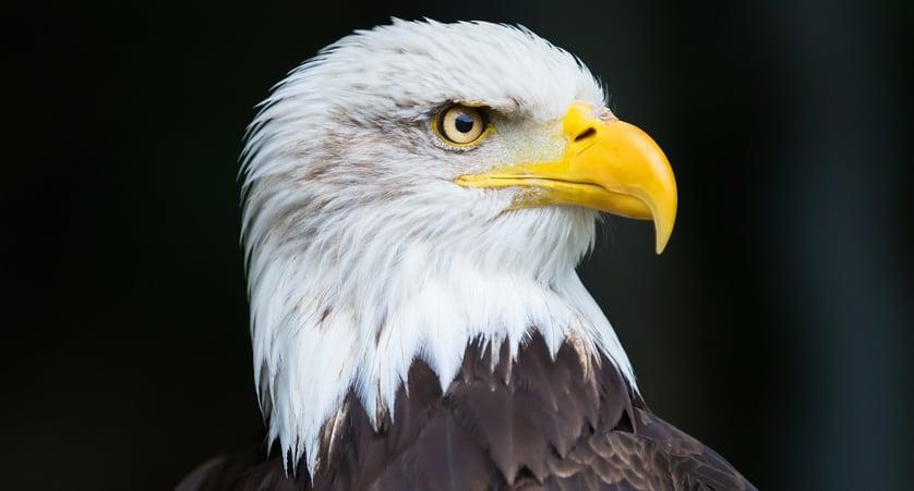 are bald eagles bald?
