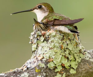 Hummingbird Nests: 7 Fun Facts You Should Know (2020)