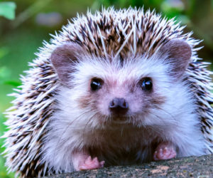 17 Fun Facts About Hedgehogs! [2020]