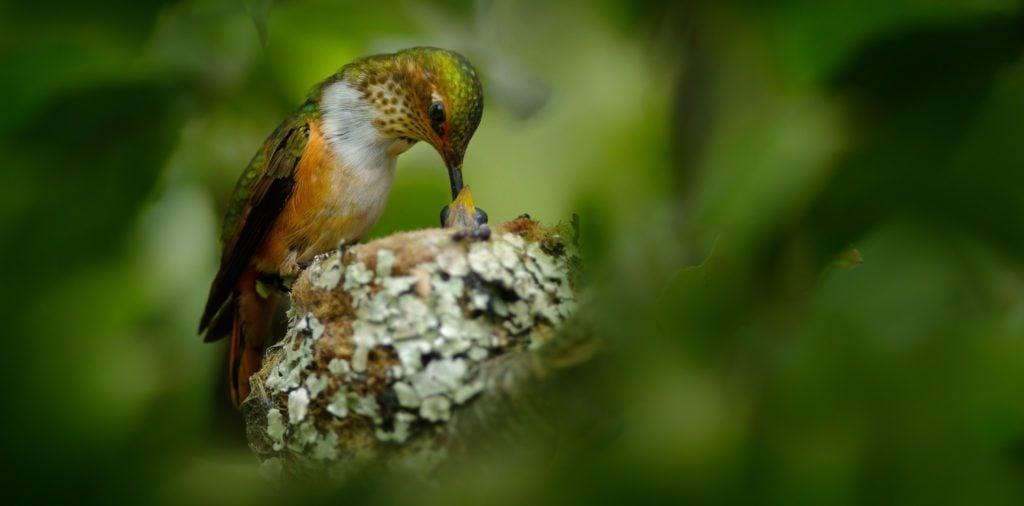 hummingbird hiding her nest and babies