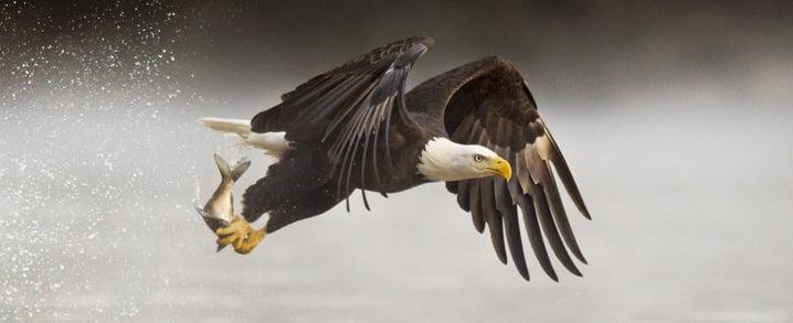eagles hunting fish