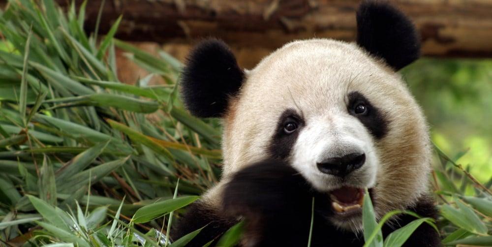 panda live cams and webcams
