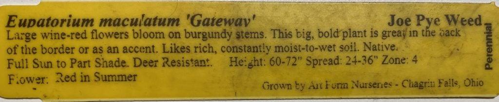 Gateway Joe Pye Weed