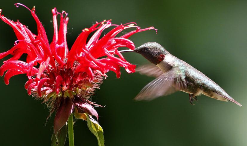 hummingbird on monarda
